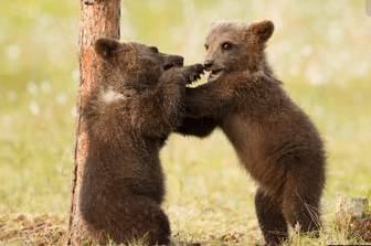 Two baby bears fighting for fun.